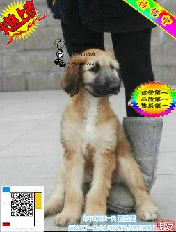 上海哪里有卖阿富汗猎犬的 阿富汗猎犬一般多少钱