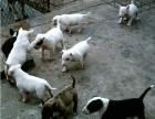 郑州哪有牛头梗犬卖 郑州牛头梗犬价格 郑州牛头梗犬多少钱