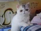多窝可选 北京实体猫舍 专业繁殖 赛级 纯种 加菲猫
