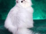 金吉拉幼崽猫咪纯白长毛波斯系金吉拉