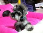 正规雪纳瑞犬繁殖基地,品质信得过,售后有保证