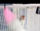 自己家繁育的加菲猫和波斯猫