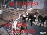 齐齐哈尔市哪里有卖格力犬惠比特犬的