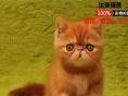 CFA纯种赛级加菲猫宠物猫异国短毛猫幼猫活体