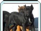 大利猛犬卡斯罗犬 纯种赛级卡斯罗幼犬 健康质保