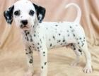 哪里有卖纯种双血统斑点狗纯种的长什么样子