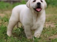 老粘人的較愛,拉布拉多犬,好養終身守護主人的拉拉