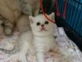英国短毛猫接受预定了