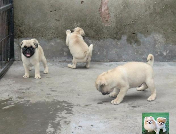 人见人爱巴哥幼犬样子十分可爱聪明健康活泼疫苗做齐