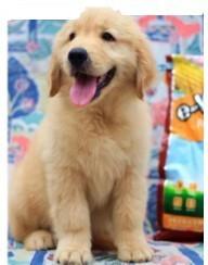 常年出售 纯种金毛犬 保证血统纯正 血缘清楚保证