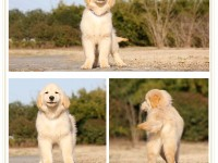 狗场低价出售 拉拉犬 金毛犬 比熊泰迪 柴犬博美犬品种齐全