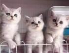 东莞哪里有卖渐层猫东莞渐层猫价格多少