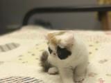 西安家养加菲猫甜美加菲妹妹便宜出售