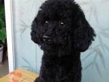 泰迪取名:汉子5个月.已疫苗