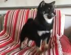 哈尔滨哪里的柴犬便宜 哈尔滨柴犬多少钱 柴犬犬舍