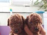 纯种小体泰迪犬
