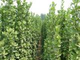 北海道黄杨种植基地信誉好的北海道黄杨厂商