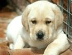 纯种忠实聪明拉布拉多犬出售 公母均有 活泼可爱