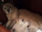 暹罗猫 蓝重暹罗猫 淡紫暹罗猫宝宝接受预订