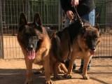 北京哪里有卖德国牧羊犬的,牧羊犬多少钱一只
