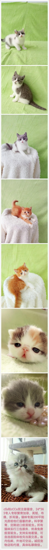 临沂本地猫舍加菲英短布偶折耳