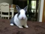 上海自家养垂耳兔,猫猫兔,侏儒兔