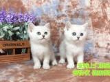 家庭式繁殖 蓝猫 渐层 品相好 签协议保健康