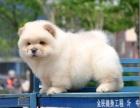 出售赛级纯种活体松狮犬迷你小体幼犬面包大肉嘴球体宠物狗狗
