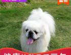 本地出售纯种京巴幼犬,十年信誉有保障