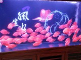 上海錦鯉批發