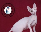 CFA猫舍专注繁育斯芬克斯加拿大无毛