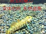 宽吻虾虎鱼(特价出售)