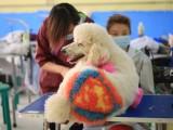 天津宠物美容培训学校宠物美容师培训