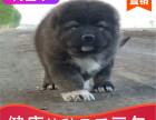本地出售纯种高加索幼犬,十年信誉有保障