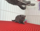 ---lulu猫舍---高品质蓝猫萌宝有折耳有立耳