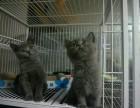 重庆正规猫舍重庆猫舍重庆蓝猫幼崽重庆蓝猫价格