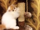 福州哪里有波斯猫卖 纯种 无病无廯 协议质保