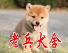 老兵出售极品柴犬保证 纯种健康 CKU国际认证犬舍