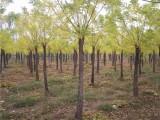 台州15公分国槐树钱一棵