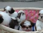 宁波那里有西施犬卖 宁波西施犬价格 宁波西施犬多少钱