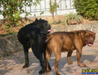 卡斯罗犬养殖场出售两个月卡斯罗犬