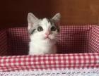 当日付款包邮 送用品一套 出售美短乳色幼猫品相好