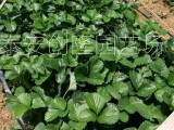 红颜草莓苗出售及购买,2020年草莓苗价格