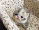 喵+萌宠 出售各类加菲 布偶 虎斑 暹罗 猫1