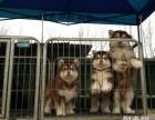 上海哪里出售纯种阿拉斯加雪橇犬 极地品质 多色选择 质量保证