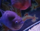 亚马逊猛鱼红腹黑斑