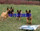 哪里有马犬幼犬出售,多少钱一只马犬幼犬,上海马犬价格
