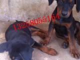 两个月的德国牧羊犬价格图片德国牧羊幼犬多少钱