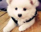 精品银狐犬包纯种保健康签协议出售全国可飞可上门