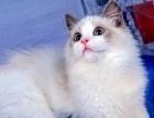 上海本地最信誉的 布偶海双 蓝双繁殖猫舍基地 价低